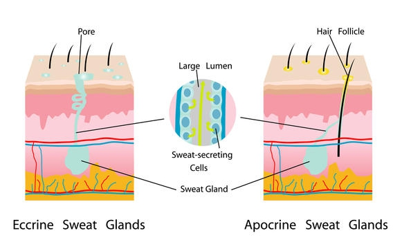 Sweating, Body Odor and Apocrine Glands / Naokeidoe Creations ...